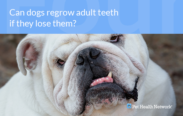 How Many Teeth Can Dogs Lose