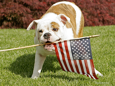 Bulldog with American flag