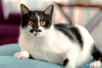 Gato grande no sofá