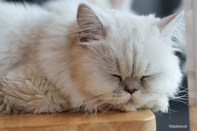 Sleepy White Cat