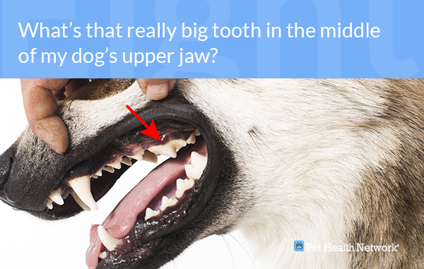 Image of: Brush Pet Health Network Dr Ernies Top 10 Dog Dental Questions And His Answers