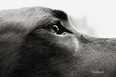 Great Dane's eyes