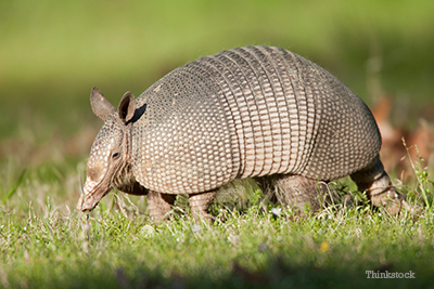 Armadillo walking in the grass