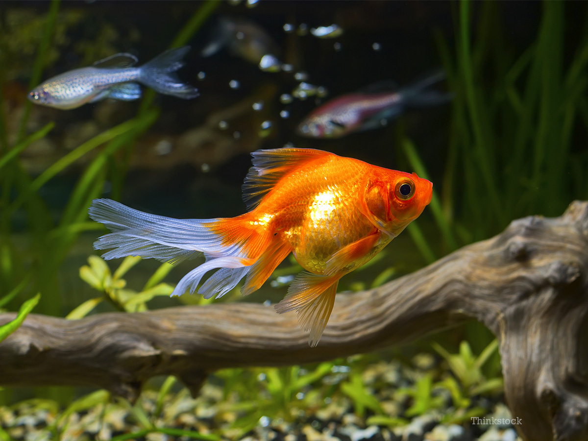 Pet Goldfish Undergoes High Risk Brain Surgery