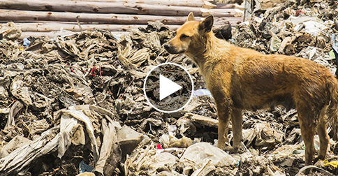 Junkyard Dog Risks Life, Travels Miles Alone Daily to Care for Friends