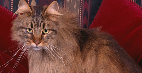 At 26, Corduroy Takes the Title of World's Oldest Living Cat