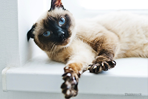 Siamese cat stretching