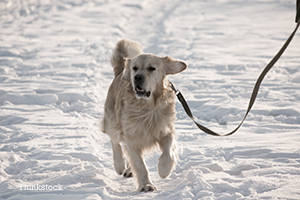 Dog on a leash playing in the snow