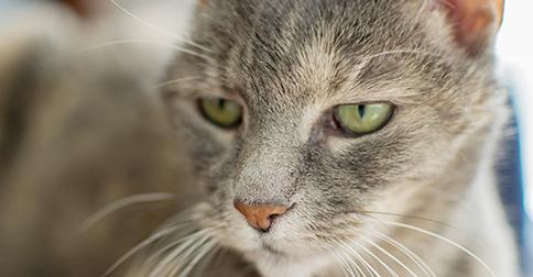 Abyssinian Cat Kidney Failure