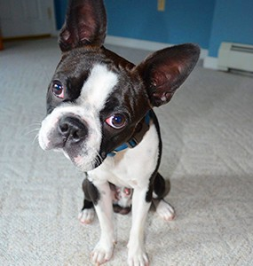The Boston Terrier