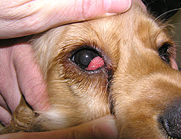 Swollen Eye Dog Care