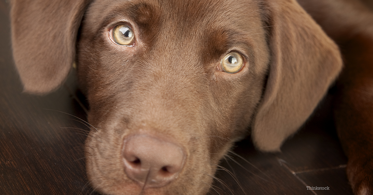Small Chocolate Brown Dog Breeds
