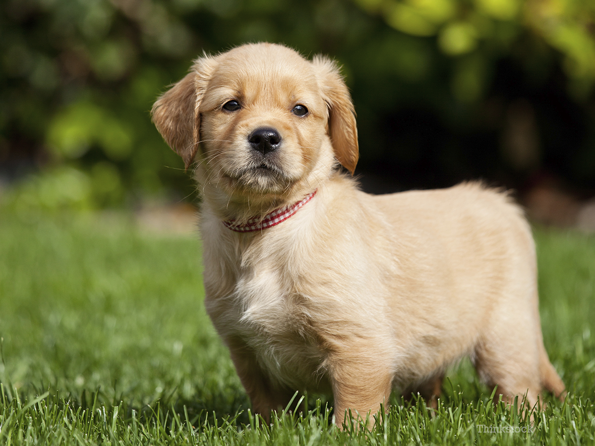 Demodecosis in dogs, treatment and symptoms