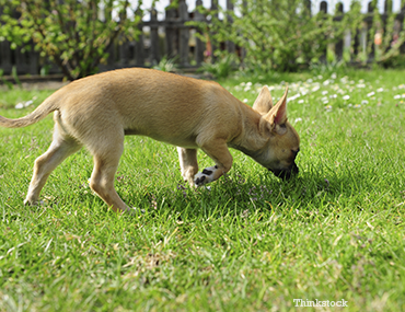 A foreign body obstruction in your dog can potentially be ...