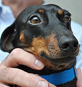 Canine Seborrhea, waxy skin, dermatitis in Dogs