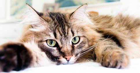 Feline Herpesvirus 101 Fhv