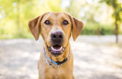 Why You Wont See Your Dogs Heartworm Symptoms Until Its Advanced
