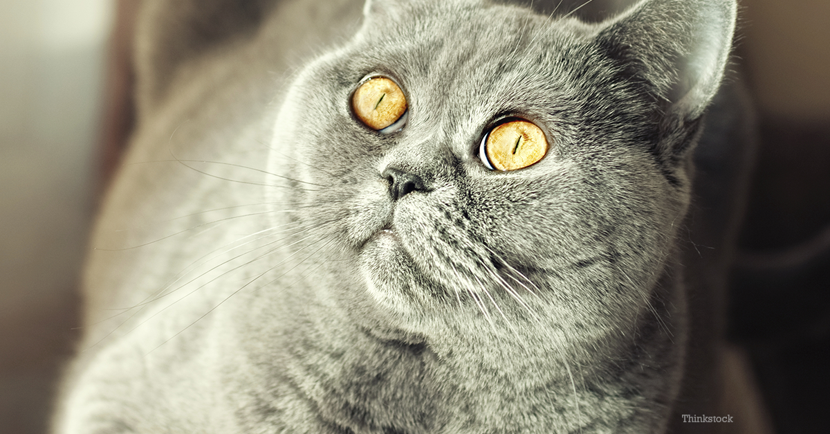 Feline Histoplasmosis A Problem In Your Cat S Lungs
