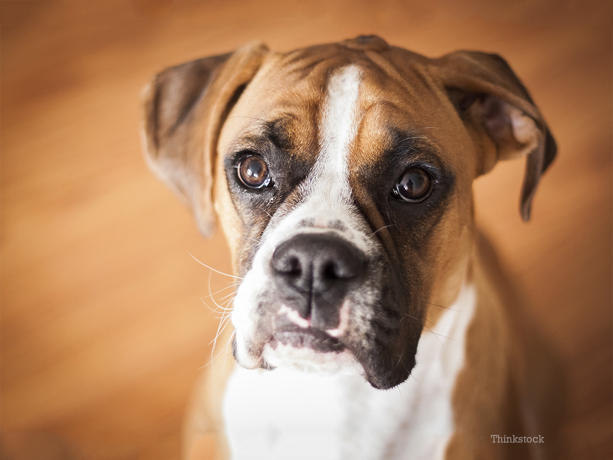 Eye Ulcers A Common Condition In Boxers And Other Adult Dogs