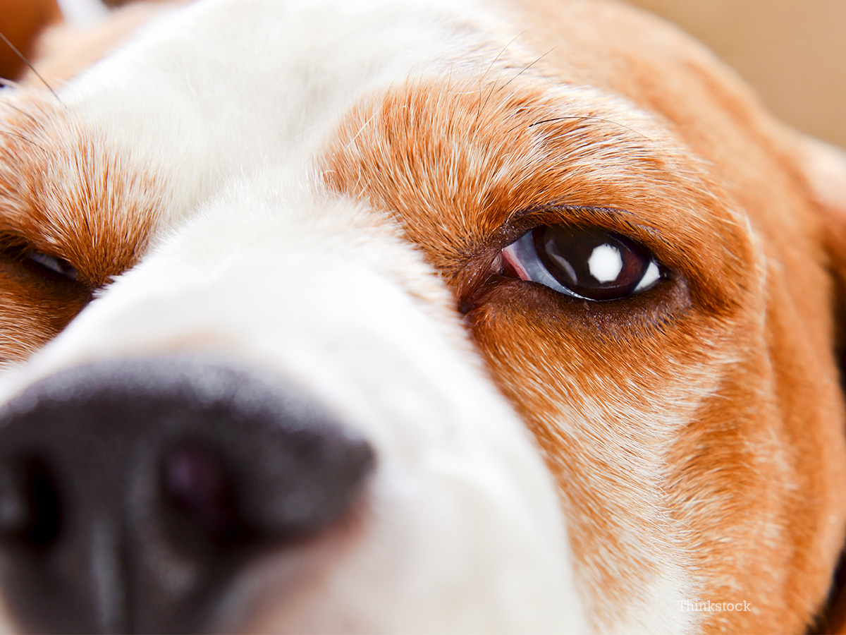Eyelid Tumor In Dogs Pictures