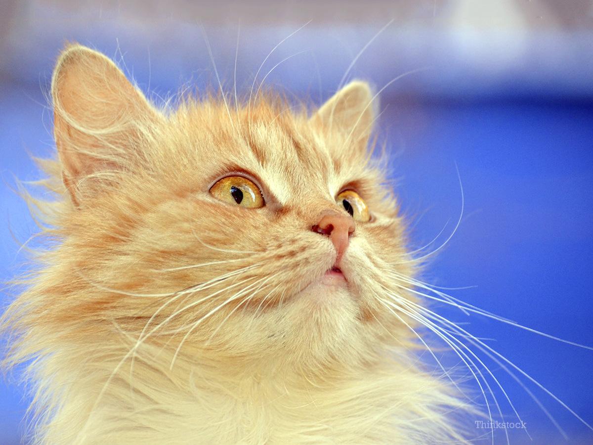 Feline Hearing Loss