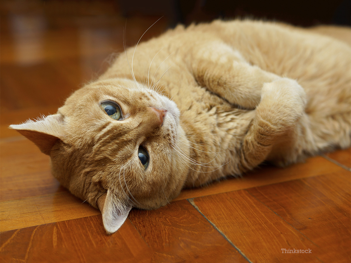 Feline Hyperthyroidism In Cats