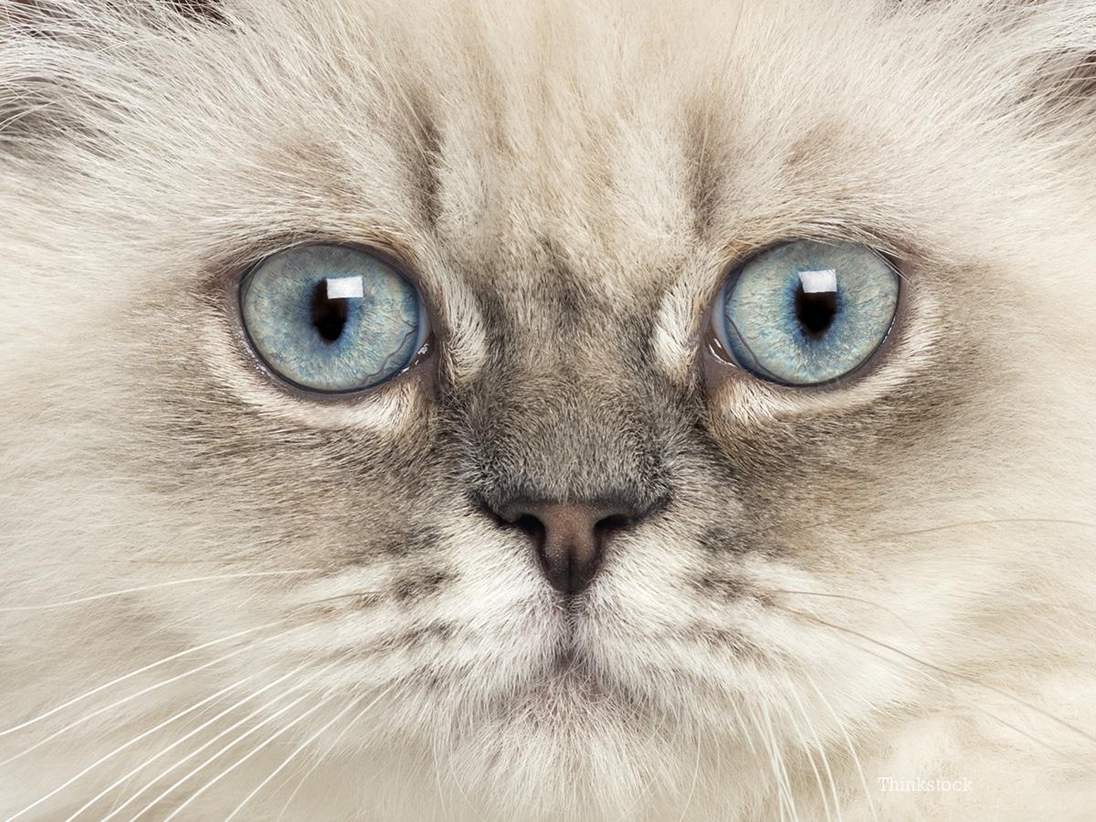 Progressive Retinal Atrophy in Cats