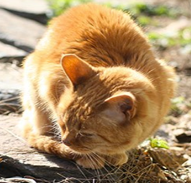 Blastomycosis In Cats Feline Lung Problems And Skin Lesions