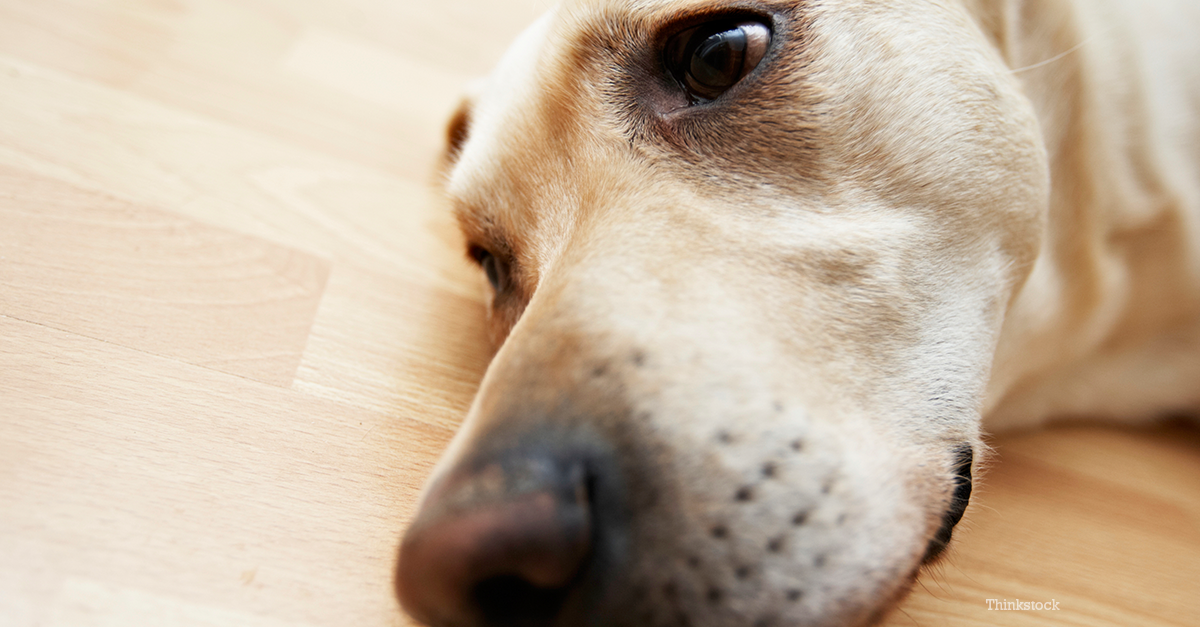 Xylitol Poisoning In Dogs: A Deadly Sugar Substitue