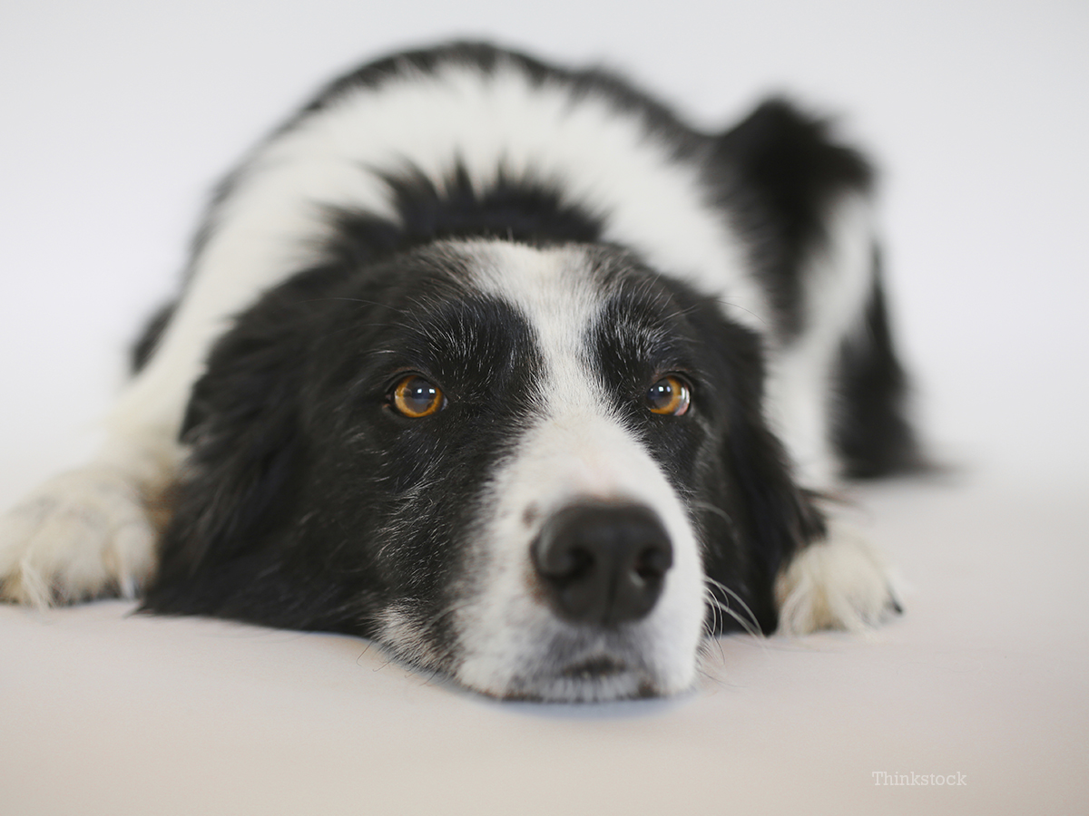 Canine Urinary Tract Infection Uti In Dogs