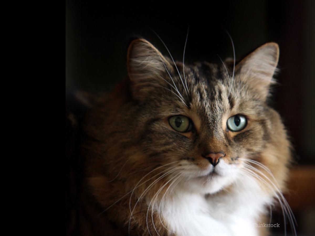 Phenomenal Is Your Seemingly Healthy Senior Cat Hiding Heart Disease Short Hairstyles For Black Women Fulllsitofus