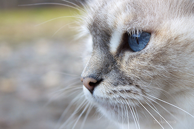 Up close image of blue eye cat