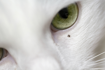 Tick on cat's face