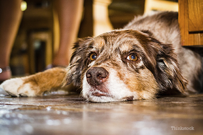 Australian Shepherd laying on kitchen floor