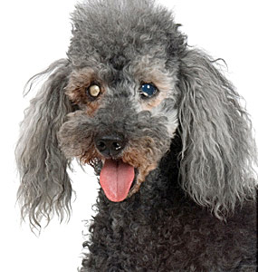Treating And Preventing Cataracts In Dogs