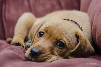 Puppy laying on couch