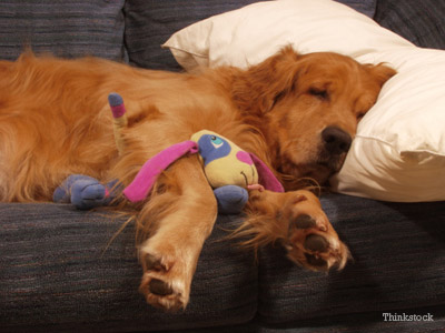 Dog Sleeping on Pillow
