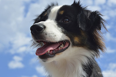 Australian Shepherd looking to the sky