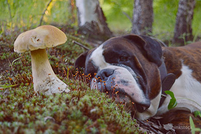 Dog laying next to a mushroom