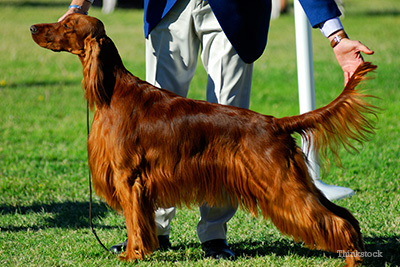Irish setter at dog show