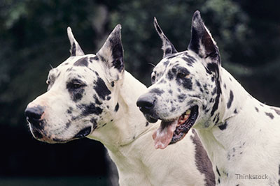 What Are Great Danes Bred For Are Ear-Cropping and T...