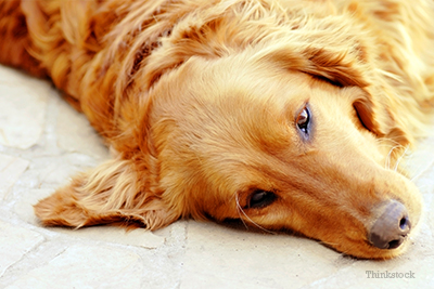 Golden retriever on ground