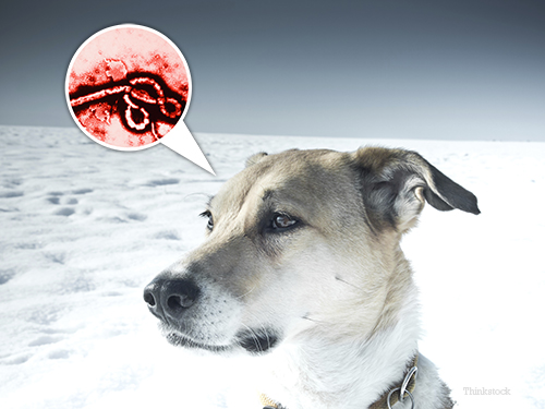 Ebola virus and dog