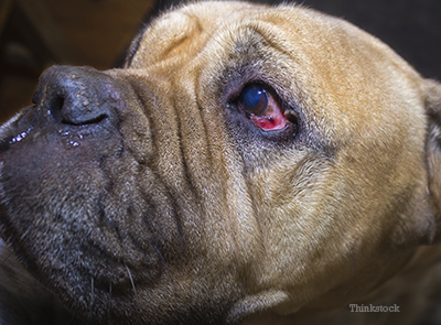 Bull Mastiffs with Entropion /><p>Entropion is a condition of the eyelids where the lids roll inward. The result is that the <a href=