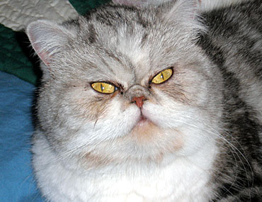 Exotic Shorthair Cats As Pets