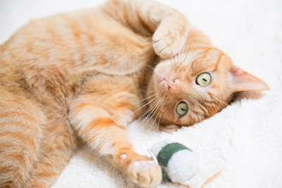 Orange cat on back with toy