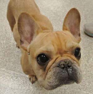 Beautiful Bulldog Brown Adorable Dog - french-bulldog  Snapshot_655033  .jpg