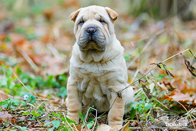 Shar-pei in forest