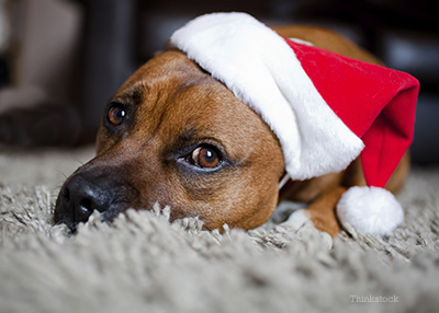 Pup with a Santa hat