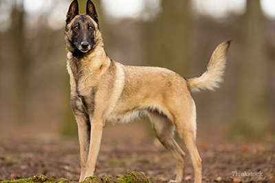 Belgian Malinois in the woods